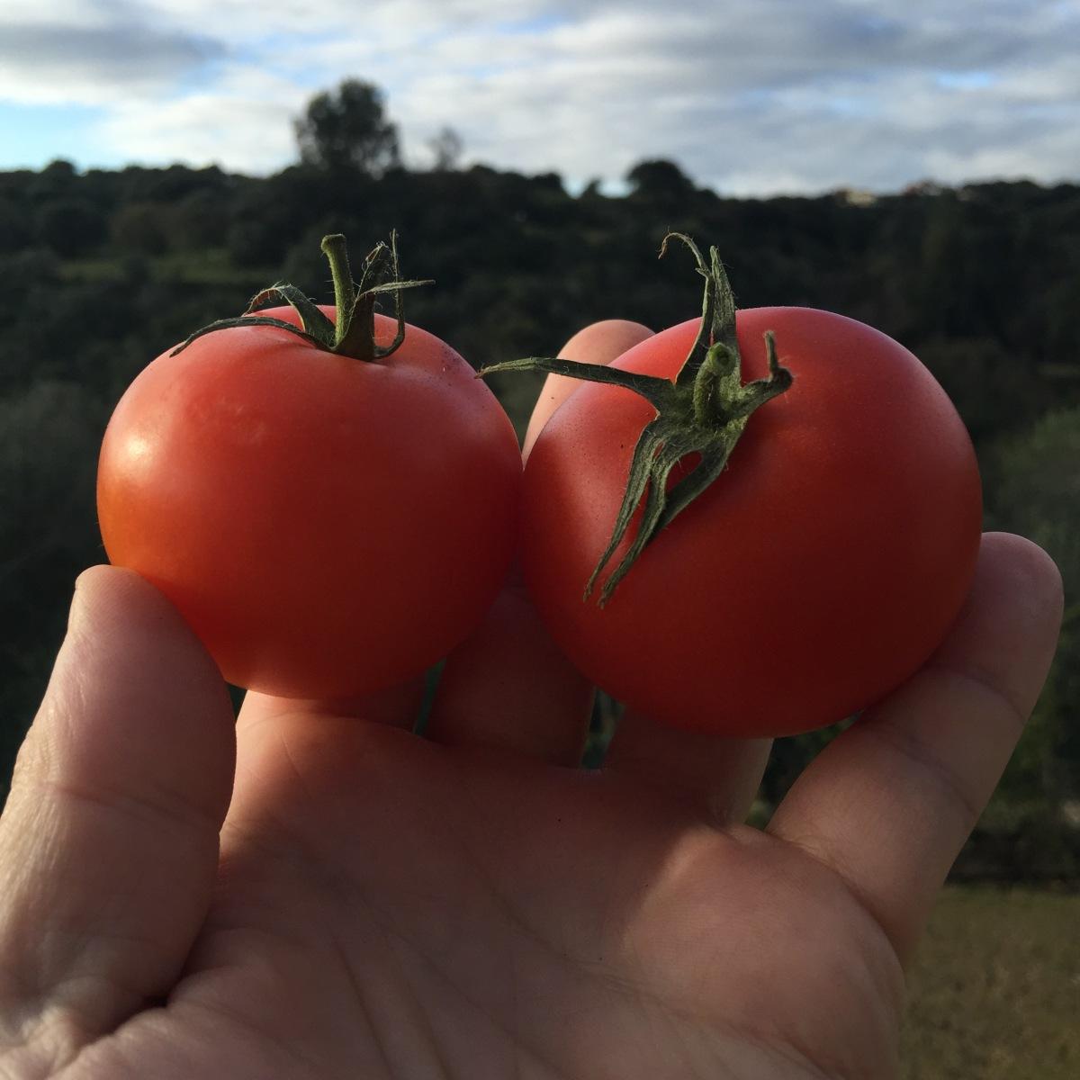 You Like Tomato. And I LikeTomato.